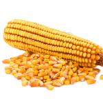 Как выбрать семена кукурузы
