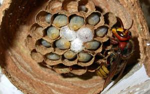 Избавляемя от гнезда шершней