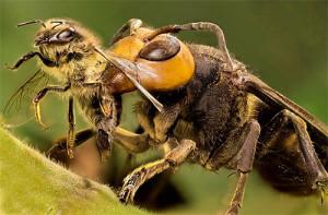 Как правильно бороться с шершнями