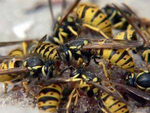 Особенности борьбы с шершнями